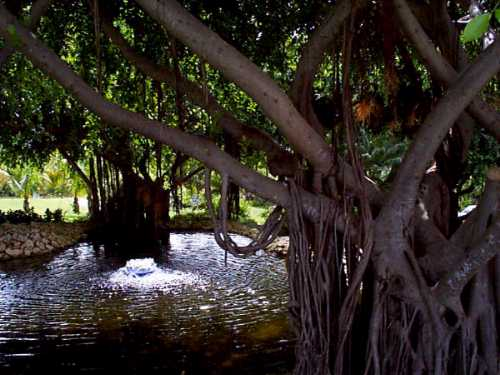 [Click to enlarge Banyan tree]