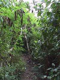 [Click to enlarge jungle path]